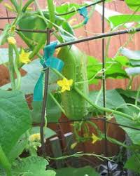 Trellis For Cucumbers In Pots Diy Tepee Trellis For Growing Cucumbers In Containers Edible