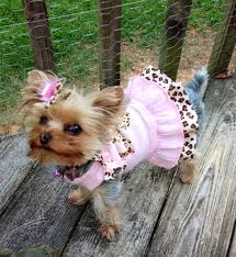 halloween costumes for yorkies dogs cute yorkie in a pink tutu yorkie fashion pinterest dog