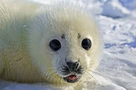 Baby Seal Meme - cute baby seal pup photo information