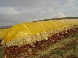 oignon dans la chambre conservation traditionnelle de l oignon dans la province d el