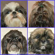 Are All Dogs Colour Blind About Shih Tzu Eyes