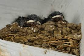 Barn Swallow Eggs Backyard Birding In Merida Yucatan And Beyond U2013 Mud Wrestlers