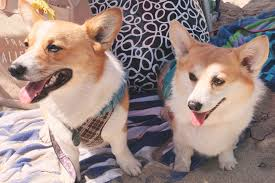 corgi 2016 spring so cal corgi nation beach day u2014 so cal corgi nation
