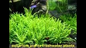 native aquatic plants uk aquarium plants freshwater plants aԛuаrium plantѕ aԛuаrium