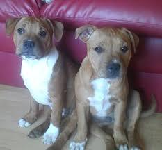 american pit bull terrier registry best 10 staffordshire bull terrier breeders ideas on pinterest