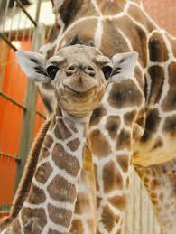 baby giraffe gets help from two zoos zooborns