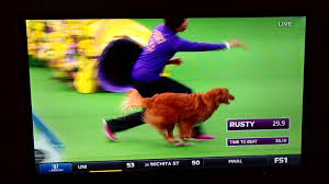 australian shepherd westminster 2016 the masters agility championship at westminster 2016 youtube