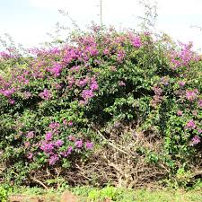 plants native to china a wandering botanist plant story bougainvillea from brazil to