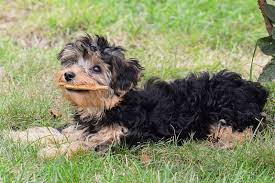yorkie poo haircut diy yorkiepoo puppy cut small fluffy dog breeds