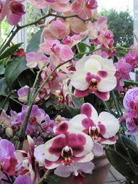 orchid plant how to cut a phalaenopsis orchid spike orchids