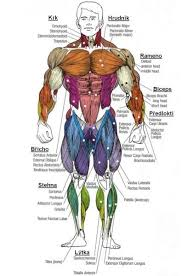Human Anatomy Muscle 20 Best Major Muscles Images On Pinterest Muscle Anatomy Human