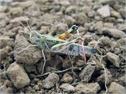 locusts and remote sensing a review