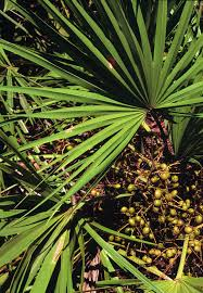native plants of florida serenoa wikipedia