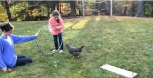 little coaches her pet chicken through a homemade obstacle course