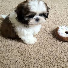 shi poo shih poo shih tzu poodle mix facts temperament training diet