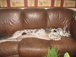 How To Get A Comfort Dog 65 Best Dogs Images On Pinterest Great Danes The O U0027jays And Pet