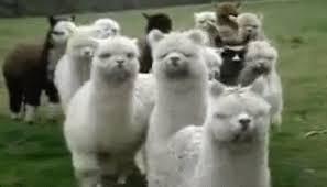 Alpaca Sheep Meme - alpacas vs llamas album on imgur
