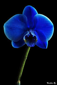 Blue Orchid Flower - blue orchid flowers orchid color and flower