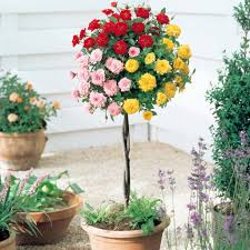 Miracle Grow Patio by Growing Patio Roses In Containers Love The Garden