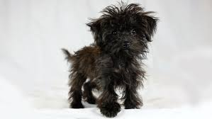 affenpinscher animal planet animal planet u0027s puppy bowl xii includes three puppies sent from