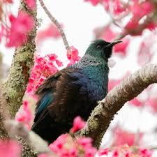 tuis the world u0027s best photos of tui and waikanae flickr hive mind