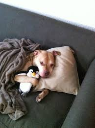 Sick In Bed Meme - a dog who is taking a sick day to spend more time with his penguin