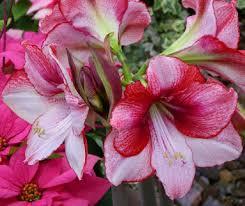 mini amaryllis flower bulbs farmer
