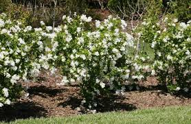 Flowersbybillbush Montreal Postal Code Map - perfect plant for snow in summer
