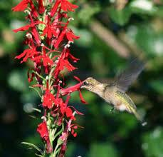 cardinal flower cardinal flower lobelia cardinalis master gardener program