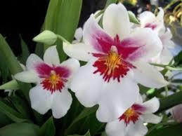 oncidium orchids 8 mistakes to avoid sunday gardener