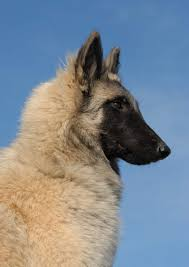 belgian sheepdog canada belgian shepherd dog tervuren dogs breed information omlet