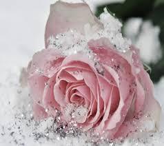 lovely white flowers pink lovely white sweet glitter beautiful rose snow