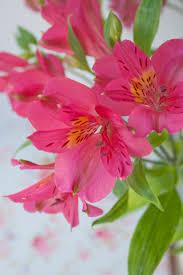 Alstroemeria Alstroemeria A Long Lasting Cut Flower Flowerona