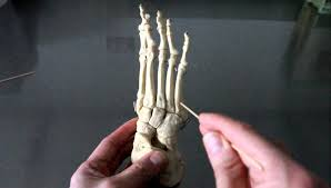 Skeletal Picture Of Foot Skeletal System Anatomy Bones Of The Ankle Foot And Toes Youtube