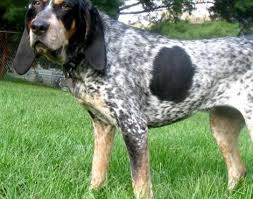 names for a bluetick coonhound bluetick coonhound animals a z animals