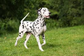dalmatian breed information characteristics u0026 heath problems