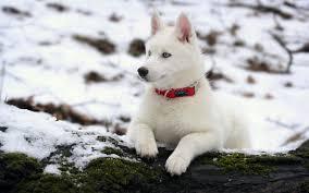 beautiful white siberian husky wallpaper deskt 6594 wallpaper