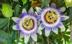 passiflora caerulea blue flower