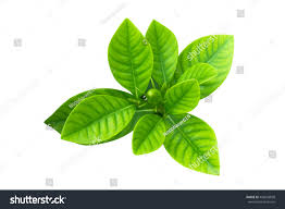 gardenia plant cape jasmine leaf on stock photo 449650858