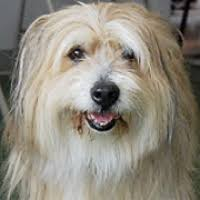 bearded collie adoption bearded collie rescue u2015 animals for adoption u2015 rescueme org