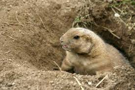 groundhogs eat grubs grasshoppers insects snails