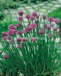 erba cipollina in vaso erba cipollina allium schoenoprasum piante aromatiche rus