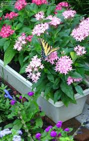 Pentas Flower Plantfiles Pictures Egyptian Star Cluster Star Flower Pentas