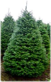 fraser fir tree christmas trees jurek plantations