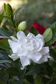 gardinia home decor 10 best gardenia images on pinterest nature garden plants and
