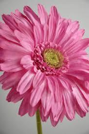 gerbera daisies pink gerbera daisies 7 flowers