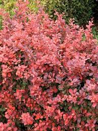 buy flowering shrubs free shipping 79 99