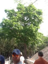 special tree picture of coba mayan traditions playa