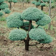 shop 9 64 gallon boulevard false cypress pom feature tree l11370