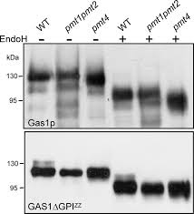 modification si e social association membrane association is a determinant for substrate recognition by